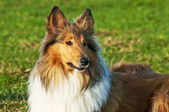 American true-bred collie — Stock Photo