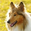 American truebred collie dog - Stock Photo
