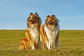 American and britisch collie dogs — Stock Photo