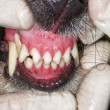 Dog teeth examination — Stock Photo