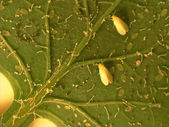 Greenhouse whitefly — Stock Photo