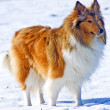 Collie dog in snow — Stock Photo