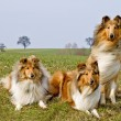 Collie dogs — Stock Photo #22860194