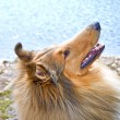 Collie — Stock Photo #23280964