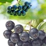 Black choke berry — Stock Photo #23559343