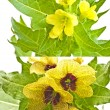 Stock Photo: Endangered species henbane