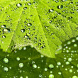 Lady s mantle with dew drops — Stock Photo #23702063