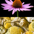 Cone flower and chamomile — Stock Photo