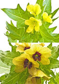 Endangered species henbane — Stock Photo