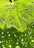 Lady s mantle with dew drops — Stock Photo