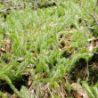Stock Video: Clubmoss