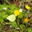 Stock Video: Brimstone butterfly on coltsfoot