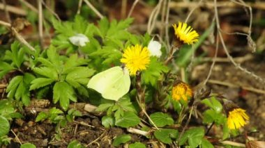 Brimstone butterfly on coltsfoot — Stock Video