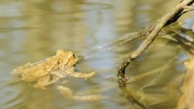 Toads in a pond — Wideo stockowe