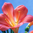 Clivia — Stock Photo