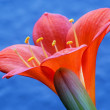 Clivia - Stock Photo