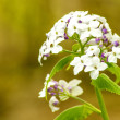 Hesperis matronalis, damask violet — Stock Photo