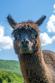 Alpaca looking curious — Stock Photo