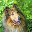 Collie — Stock Photo #25934443