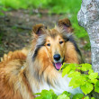 American collie dog — Stock Photo