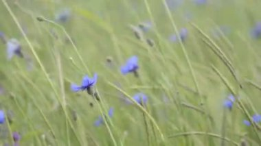 Cornflowers — Stock Video