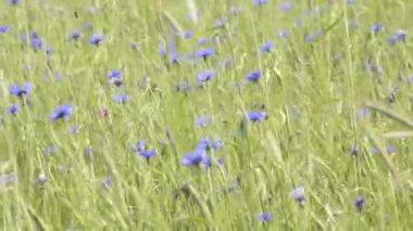 Cornflowers — Stock Video