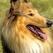 Stock Photo: American, male, purebred collie dog