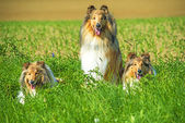 Group of three collie dogs — Stock Photo