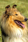 American, male, purebred collie dog — Stock Photo