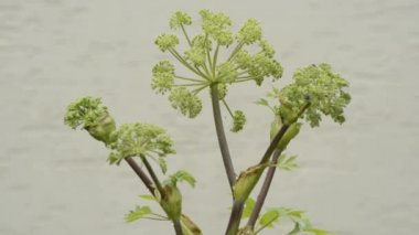 Angelica, medicinal plant — Stock Video