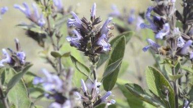 Sage, medicinal plant — Stockvideo