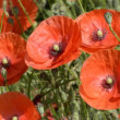 Stock Video: Red poppy
