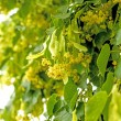 Lime-tree blossom — Stock Photo