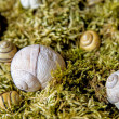 Snail houses in moss — Foto Stock #27429145
