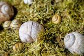 Casas de caracol no musgo — Foto Stock