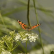 Stock Video: Small tortoiseshell butterfly on flower