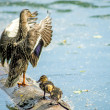 Mallard duck with offspring — Stock Photo