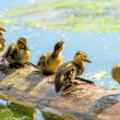 Stock Photo: Offspring of mallard duck