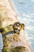 Mallard duck with offspring — Stock Photo