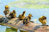 Offspring of an mallard duck — Foto Stock