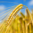 Barley — Stock Photo #27573175