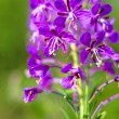 Rosebay willow-herb, Epilobium angiustifolium — Foto Stock