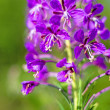 Rosebay willow-herb, Epilobium angiustifolium — ストック写真