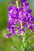 Rosebay willow-herb, Epilobium angiustifolium — Stock Photo