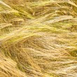 Stock Photo: Barley