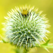 Thistle — Stock Photo #27809903