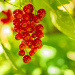 Red currant at a bush — Stock Photo