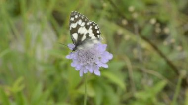 Marbled white, butterfly — Stock Video