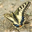 Swallowtail butterfly, Papilio machaon — Stock Photo