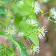 Hops blossom — Stock Photo